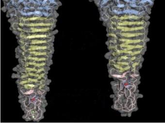 В структуре бактериофага нашли железное «жало»
