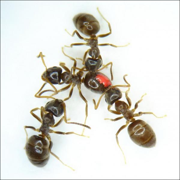 Чтобы защититься от инфекции, муравьи заражают друг друга