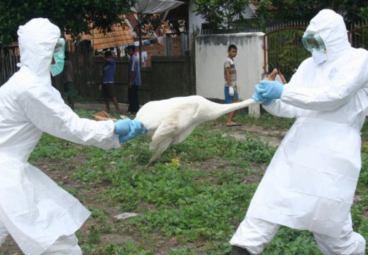 Опубликована ранее запрещенная статья о птичьем гриппе