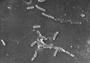 Сила болезнетворных бактерий заключается в их количестве