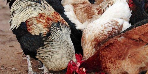 Птичий грипп начнет передаваться между людьми через три мутации