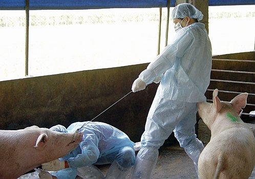 Вирус свиного гриппа обнаружен в таиландской психиатрической клинике