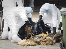В Китае зафиксирована массовая вспышка птичьего гриппа