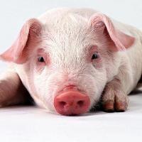 В Тверской области новые вспышки африканской чумы свиней