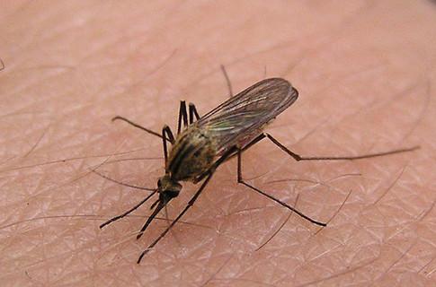 Киевлян одолевают комары несущие инфекцию