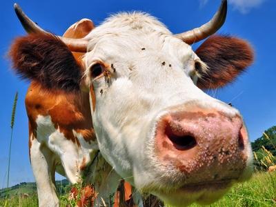 Модифицированное коровье молоко защищает от ВИЧ