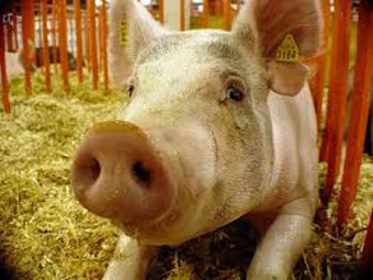 Посетители сельских ярмарок в штате Огайо заразились гриппом от свиней