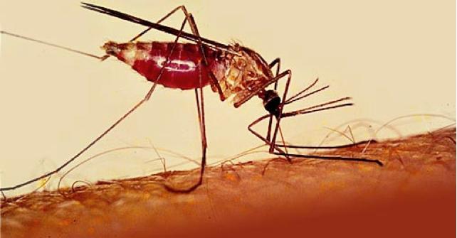 «Железная стратегия» позволяет защитить организм от тяжелой малярии