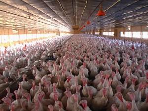 Китай мобилизует ресурсы на борьбу с новым птичьим гриппом