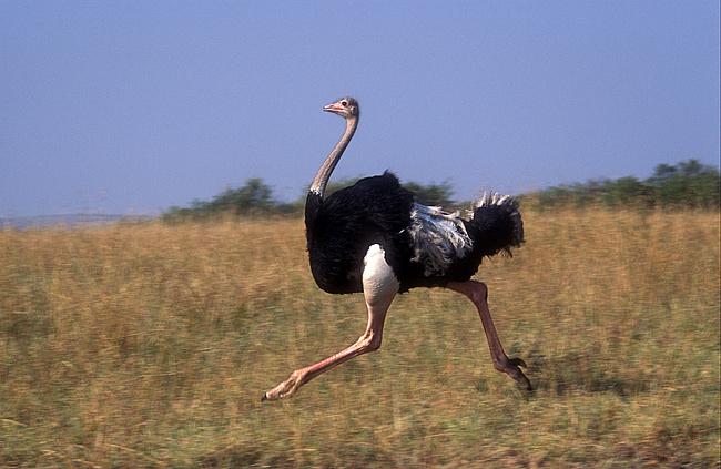 Из-за птичьего гриппа в ЮАР уничтожили 10 тысяч страусов