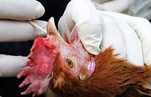 На Тайване зафиксирован первый случай заболевания гриппом H7N9