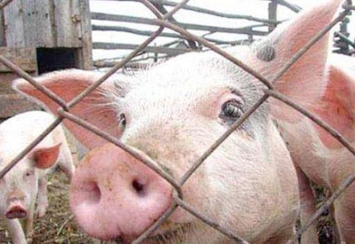 Украина временно запретила ввоз свиней из Белоруссии