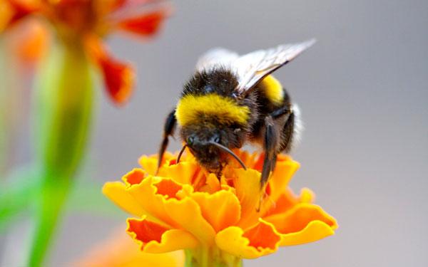 Пчелиный яд может оказаться средством защиты от ВИЧ