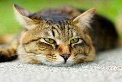 Кошка – источник туберкулеза?