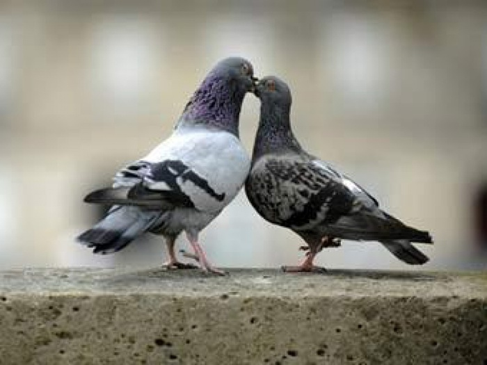 Ученые вылечат московских голубей