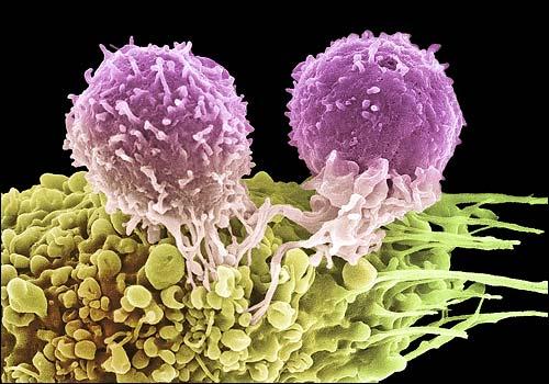 Лимфоциты и их значение в иммунной системе человека