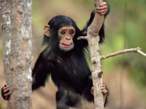 Создана вакцина от обезьяньего иммунодефицита
