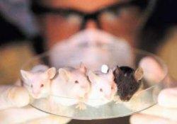 Создана новая животная модель, восприимчивая к гепатиту С