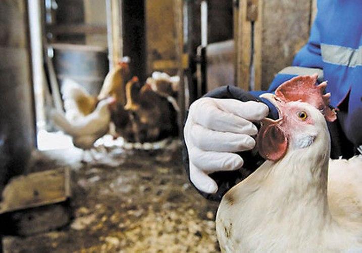 Птичий грипп научились лечить пищевыми добавками