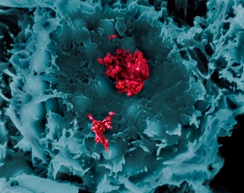 У млекопитающих нашли растительный механизм противовирусной защиты