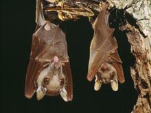 Летучие мыши — эпидемическая бомба замедленного действия
