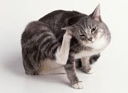 «Ушной клещик» — не страшно, но опасно…