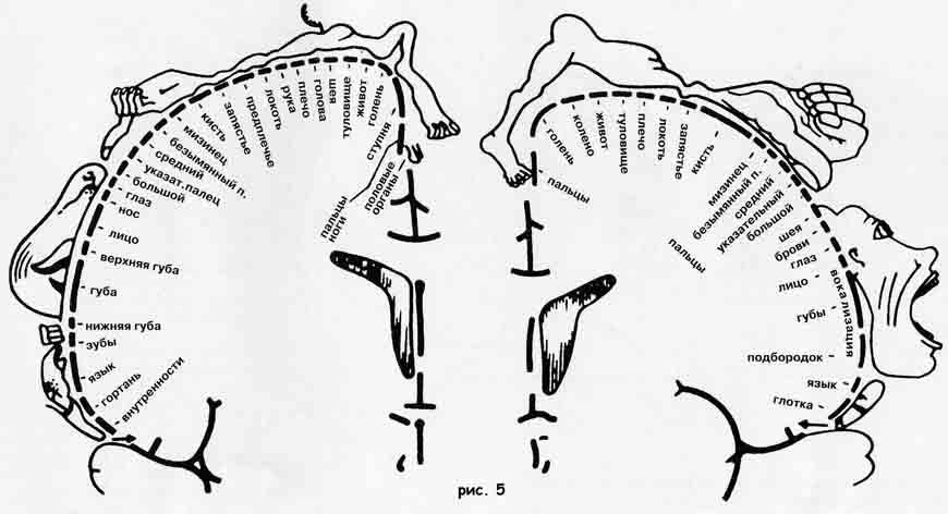 Сенсомоторная область коры, перегородка, миндалина