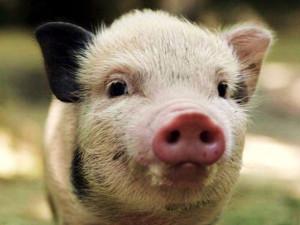 В Луганской области объявили карантин и сжигают свиней