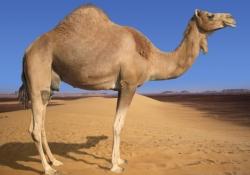 Пневмония MERS – виноваты верблюды!