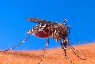 В странах Карибского бассейна разгорается эпидемия вируса чикунгунья
