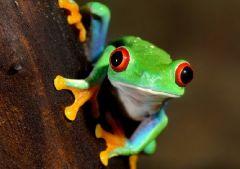 Лягушки умеют защищаться от грибковой инфекции