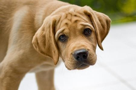 Лабрадор. Собака-«пылесос»