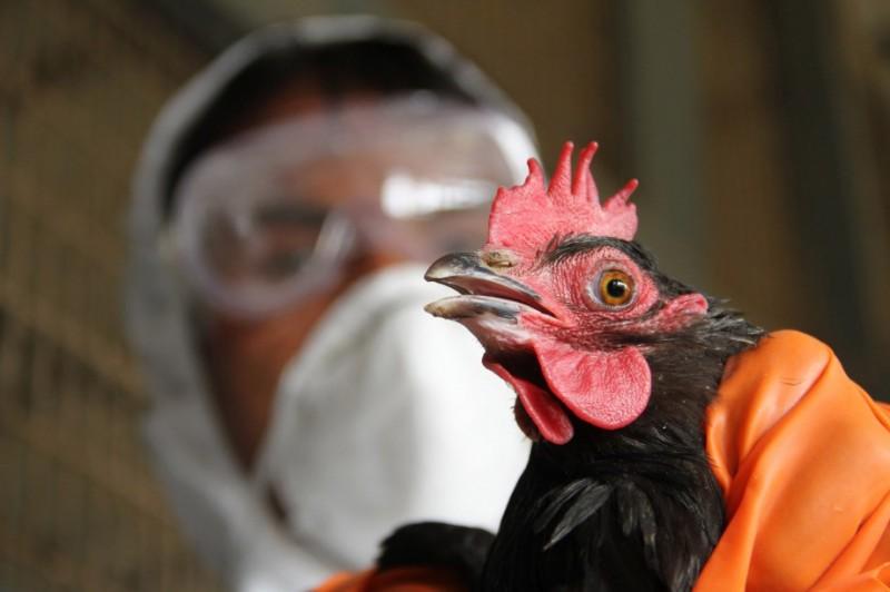 На птицефабрике в Японии обнаружен птичий грипп