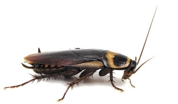 Новейшие способы выведения тараканов