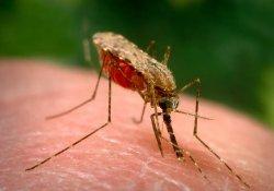 В Африке появились «суперкомары», неуязвимые разносчики возбудителей малярии