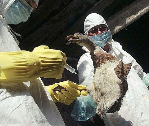 «Птичий» грипп не угрожает жителям Приморья — Россельхознадзор