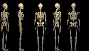 Скелет человека: кости грудной клетки и конечностей