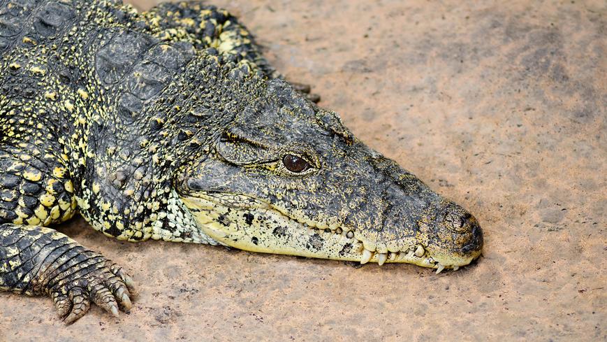 Кровь аллигаторов может заменить антибиотики