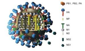 Слухи о страшной мутации свиного гриппа в Индии – не подтвердились