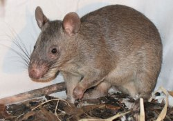 Гигантские крысы стали надежными диагностами легочного туберкулеза