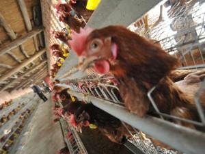 Птичий грипп обнаружен на крупнейшей ферме США