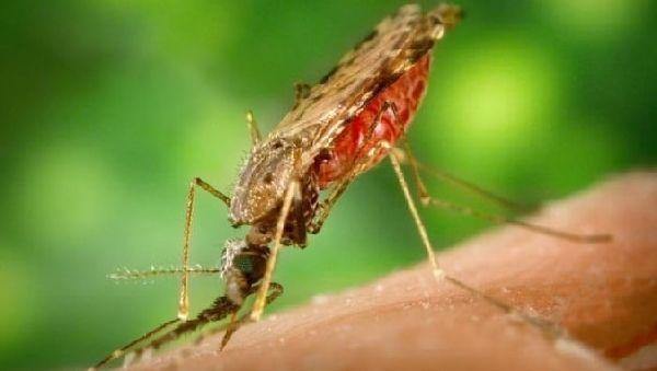 Вакцинация комаров – спасение от малярии