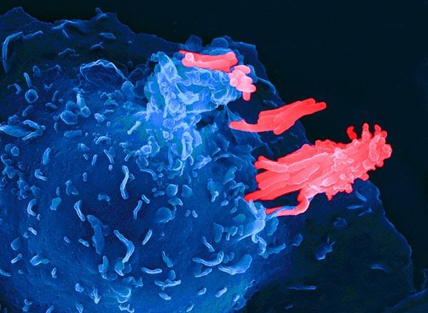 Каким образом регулируется иммунитет в кишечнике