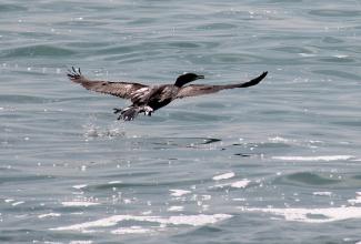 Итальянские специалисты подтвердили птичий грипп у баклана, обнаруженного погибшим в Каспийском море