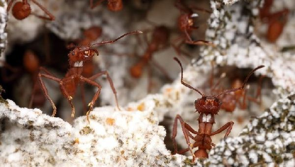 Муравьи помогут приготовить антибиотики следующего поколения