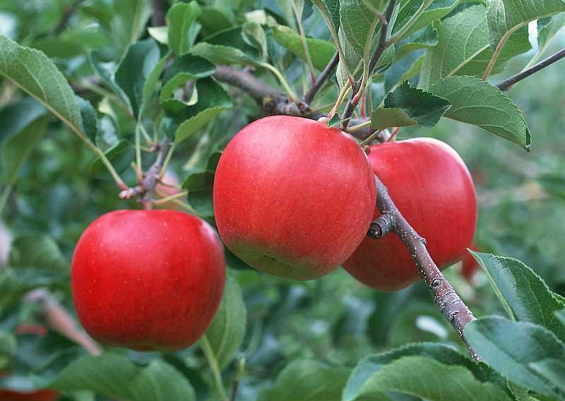 Яблоки: настоящие лекари