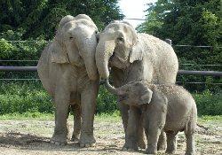 «Слоновий» туберкулез оказался опасным и для людей