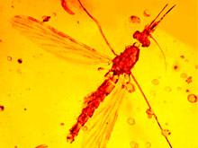 Малярия существовала в эпоху динозавров, уверены биологи
