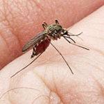 Открытие: укусы москитов помогают вирусам размножаться