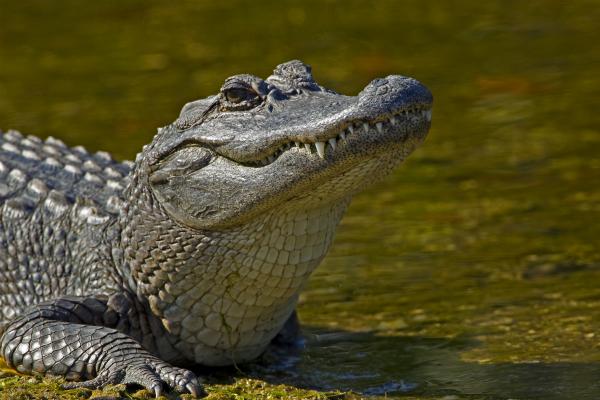 Кровь аллигаторов будут использовать для создания новых антибиотиков